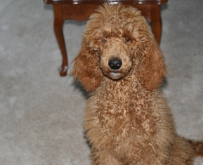 Red medium Poodle female