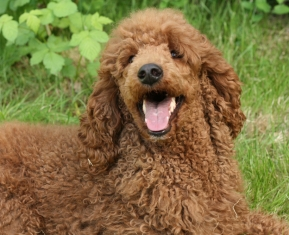 Red standard poodle female