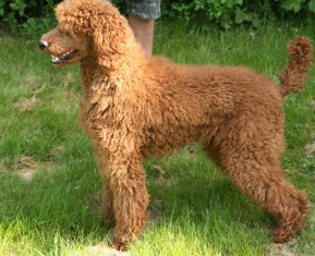 red poodle female